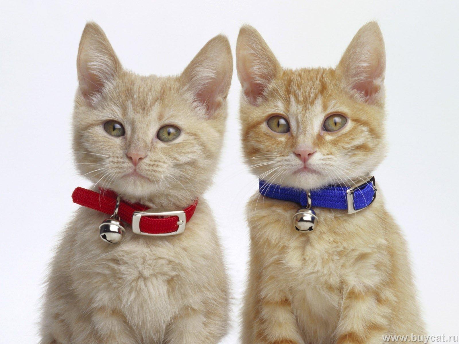 صوره احدث صور قطط , قطه شيرازي للتربيه