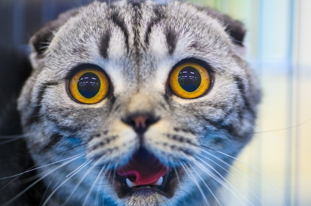 بالصور احدث صور قطط , قطه شيرازي للتربيه 449 2