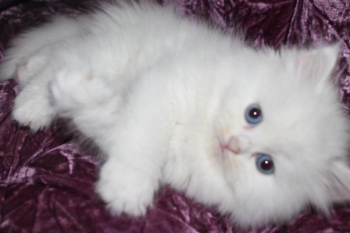 بالصور احدث صور قطط , قطه شيرازي للتربيه 449 5