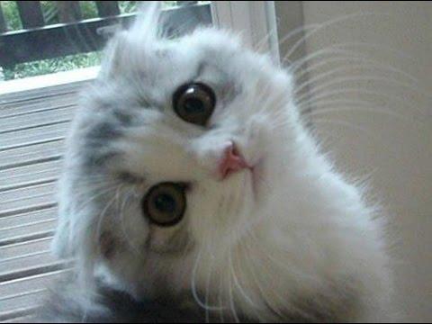 بالصور احدث صور قطط , قطه شيرازي للتربيه 449 6