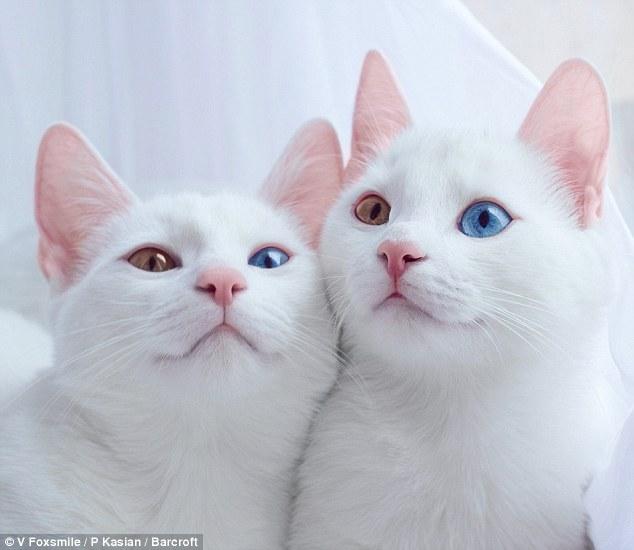 بالصور احدث صور قطط , قطه شيرازي للتربيه 449 7