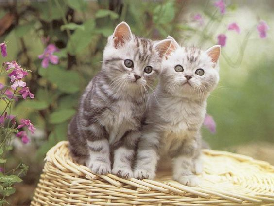 بالصور احدث صور قطط , قطه شيرازي للتربيه 449 9