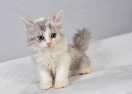 بالصور احدث صور قطط , قطه شيرازي للتربيه