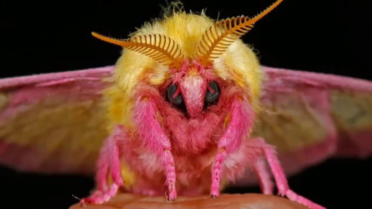 صوره صور ملكة جمال الحشرات , حشرة روزي القيقب