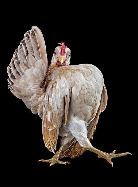 صوره صور فراخ جميلة , ملكات جمال الدجاج