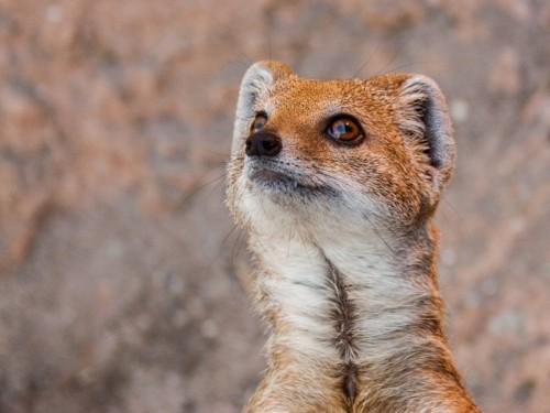 صوره صور حيوان النمس , اذكى الحيوانات