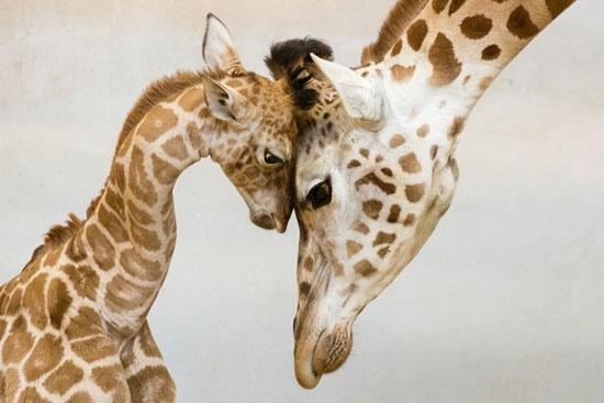 بالصور صور حيوانات جميلة جدا , اجمل صور للحيوانات 3826 9
