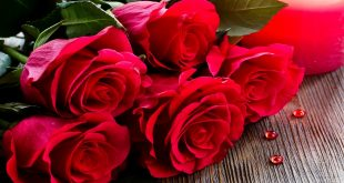 صوره صور وردات خلفيات وردات حمراء , خلفيات ورود حمراء