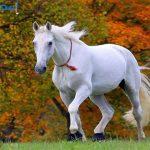 صور خيول بيضاء رائعة white horses , اجمل الخيول البيضاء