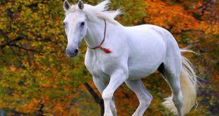 صوره صور خيول بيضاء رائعة white horses , اجمل الخيول البيضاء