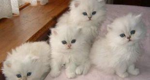 صور قطط تهبل , صورة اجمل قطة صغيره