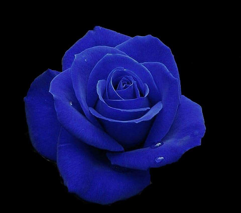 بالصور صور ورد ازرق اجمل صور ورود زرقاء متحركة صور زهور و ورد باللون الازرق , خلفيات وردة الوان 3998 1