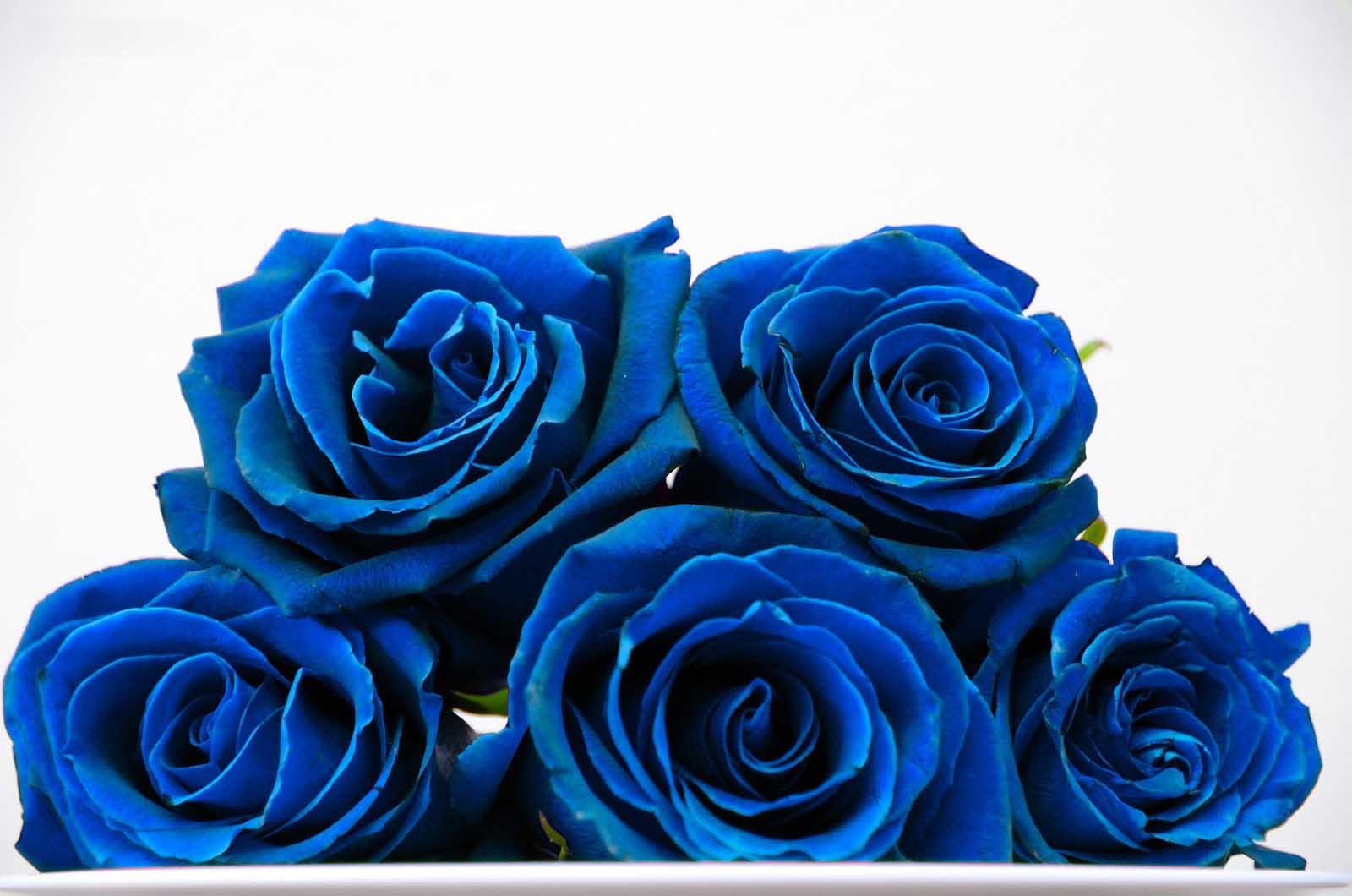 بالصور صور ورد ازرق اجمل صور ورود زرقاء متحركة صور زهور و ورد باللون الازرق , خلفيات وردة الوان 3998 2