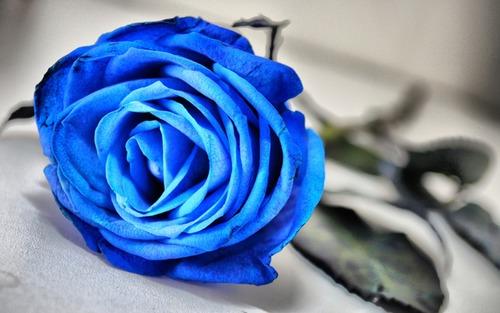 بالصور صور ورد ازرق اجمل صور ورود زرقاء متحركة صور زهور و ورد باللون الازرق , خلفيات وردة الوان 3998 3