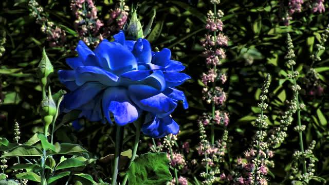 بالصور صور ورد ازرق اجمل صور ورود زرقاء متحركة صور زهور و ورد باللون الازرق , خلفيات وردة الوان 3998 4