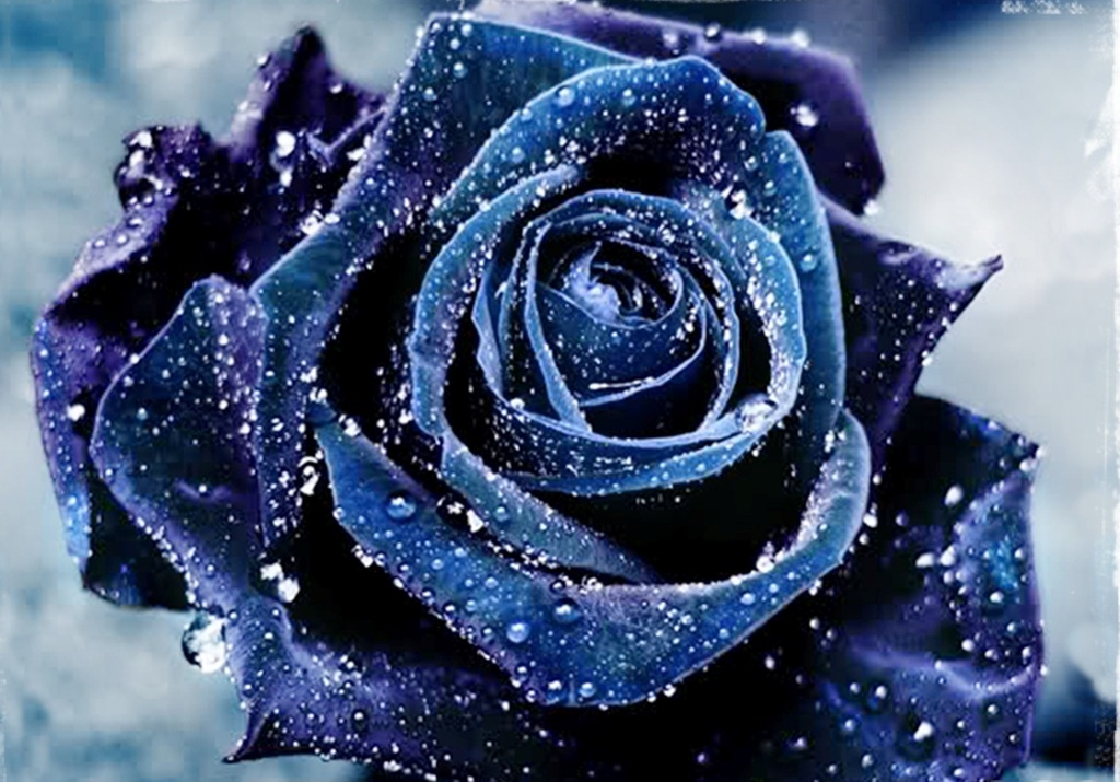 بالصور صور ورد ازرق اجمل صور ورود زرقاء متحركة صور زهور و ورد باللون الازرق , خلفيات وردة الوان 3998