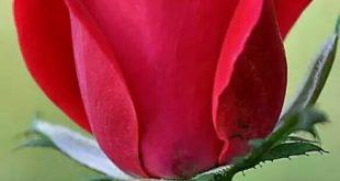 صور خلفيات ورود خلفيات زهور خلفيات روعه للورود , بوستات مميزة للزهرة