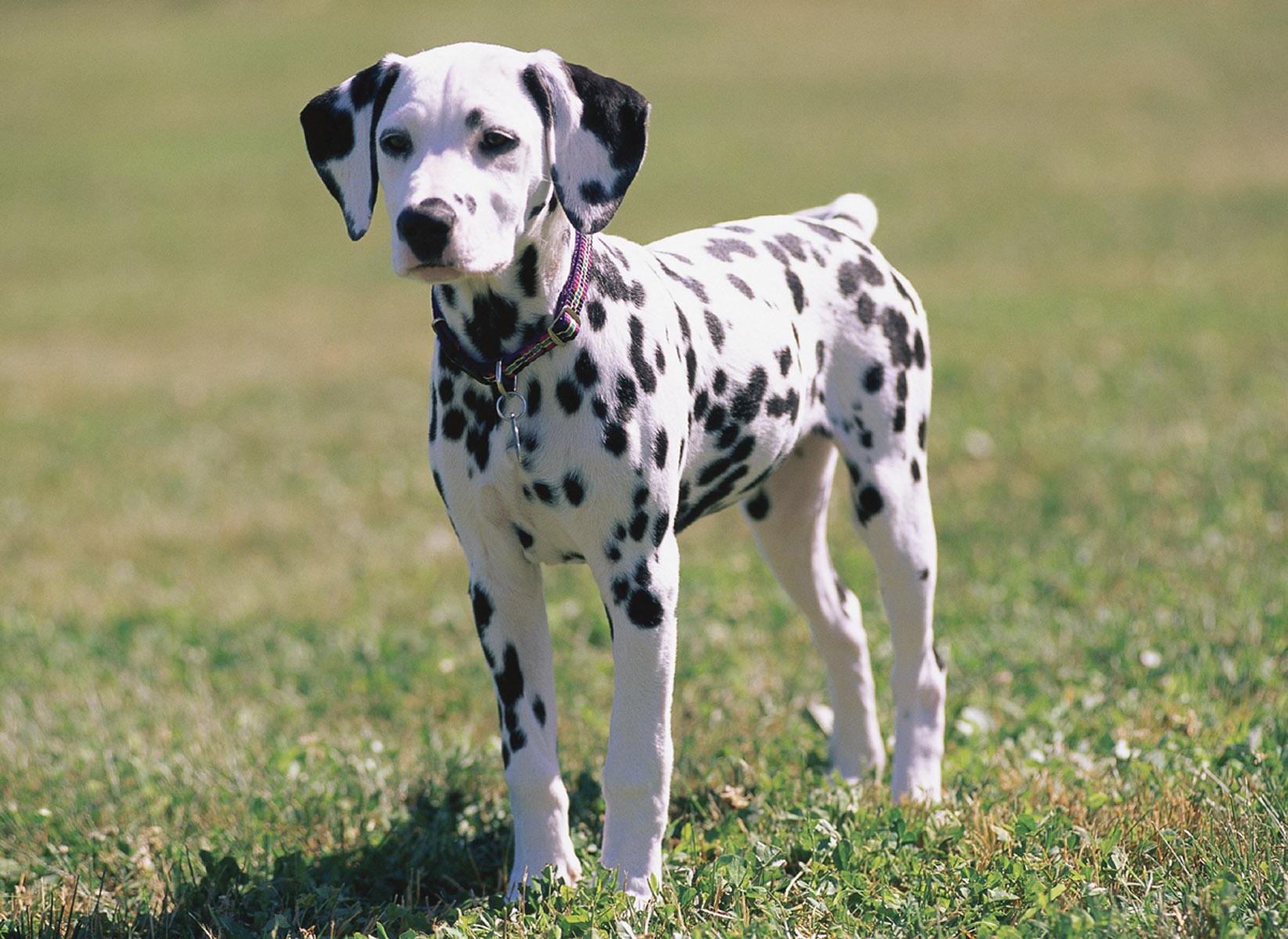 بالصور صور كلاب صور كلاب جديدة , خلفيات لكلب حراسه 4052 4