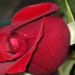 صور احدث صور ورود طبيعية صور ورد طبيعى باقات ورد احمر , زهور طبيعية