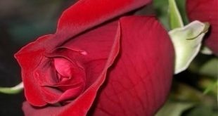 صوره صور احدث صور ورود طبيعية صور ورد طبيعى باقات ورد احمر , زهور طبيعية
