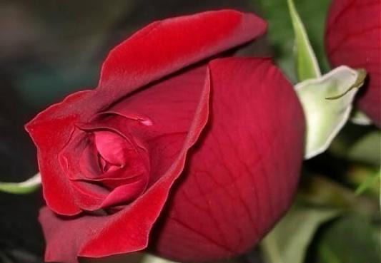 نتيجة بحث الصور عن صور ورد طبيعى صور ورد حلو صور الورد طبيعى , خلفيات للزهور الطبيعية