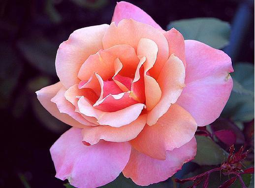 بالصور صور زهور اجمل صور الزهور صور زهور تهبل , اجمل ورود ملونه 4279 2
