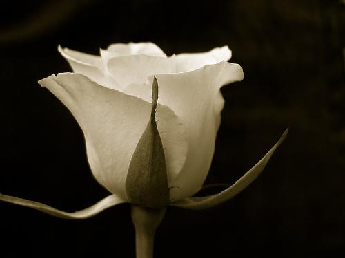 بالصور صور زهور اجمل صور الزهور صور زهور تهبل , اجمل ورود ملونه 4279 6