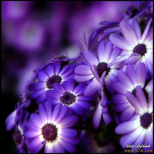 بالصور صور ورد بنفسجي صور ازهار بنفسجي , اجمل ورد بنفسجي 4470 6