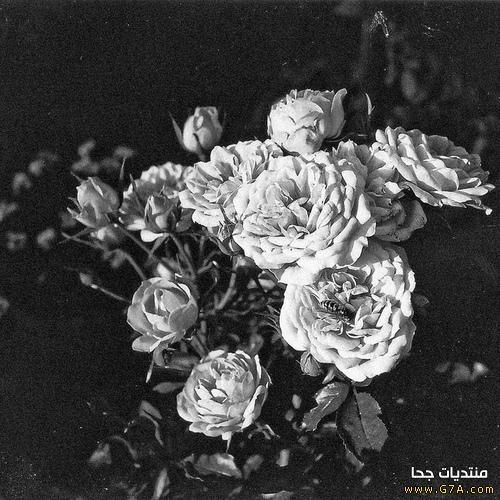 بالصور صور ورد اسود اجمل صور ورود سوداء متحركة صور زهور و ورد باللون الاسود 4533 11