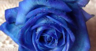 صور ورد ازرق طبيعي , باقة زهور من اللون الازرق