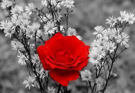 بالصور صور خلفيات ورود جميلة جدا عالية الدقة , صوره رائعه عن الزهور unnamed file 2188