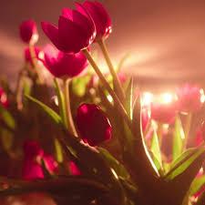 بالصور صور خلفيات ورود جميلة جدا عالية الدقة , صوره رائعه عن الزهور unnamed file 2192