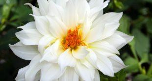صوره صور ورود بيضاء صور ورد ابيض صور , ورد جميل