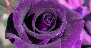 صور ورد بنفسجى اجمل صور ورود بنفسجية , صور زهور و ورد باللون البنفسجى