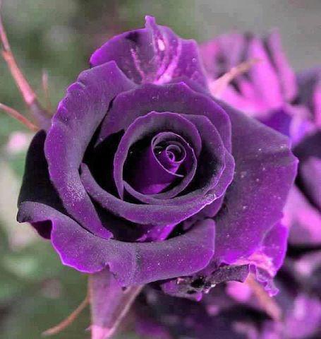 صوره صور ورد بنفسجى اجمل صور ورود بنفسجية , صور زهور و ورد باللون البنفسجى