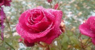 صور زهور , اجمل الورود