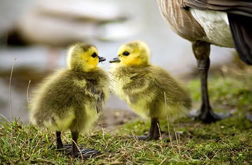بالصور صور صغار الحيوانات , احلى صور الحيونات 1635 2