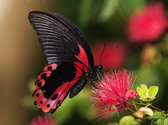بالصور صور فراشات , اجمل الفراشات بالصور 1655 1