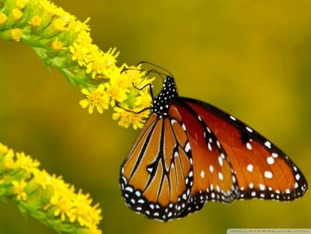 بالصور صور فراشات , اجمل الفراشات بالصور 1655 13