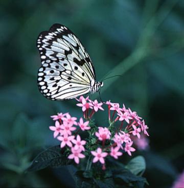بالصور صور فراشات , اجمل الفراشات بالصور 1655 8