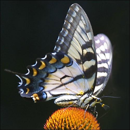 بالصور صور فراشات , اجمل الفراشات بالصور 1655 9