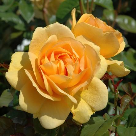 صور صور عن الورد , اجمل صورة لاروع زهرة