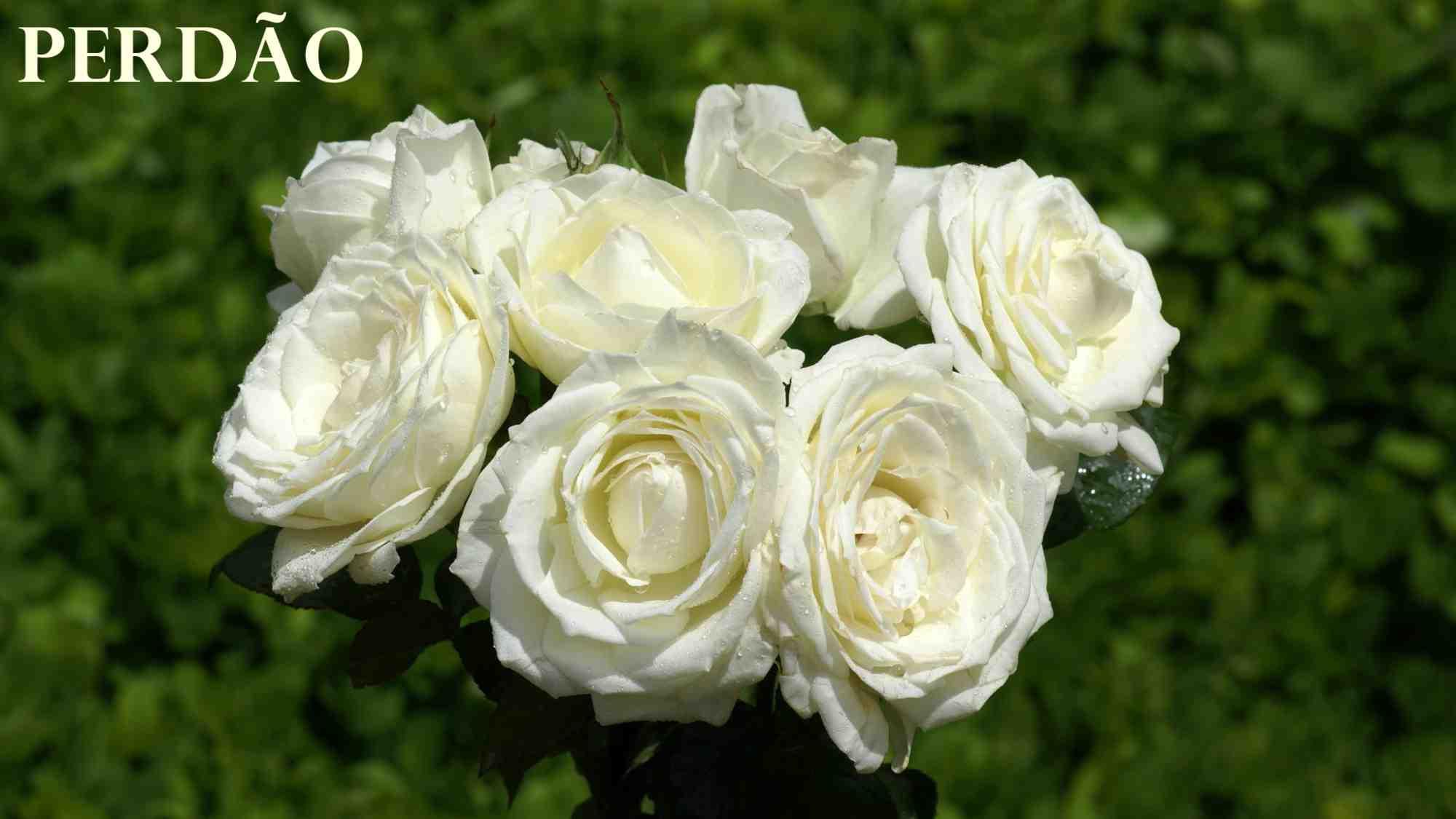 بالصور صور عن الورد , اجمل صورة لاروع زهرة 1806 3