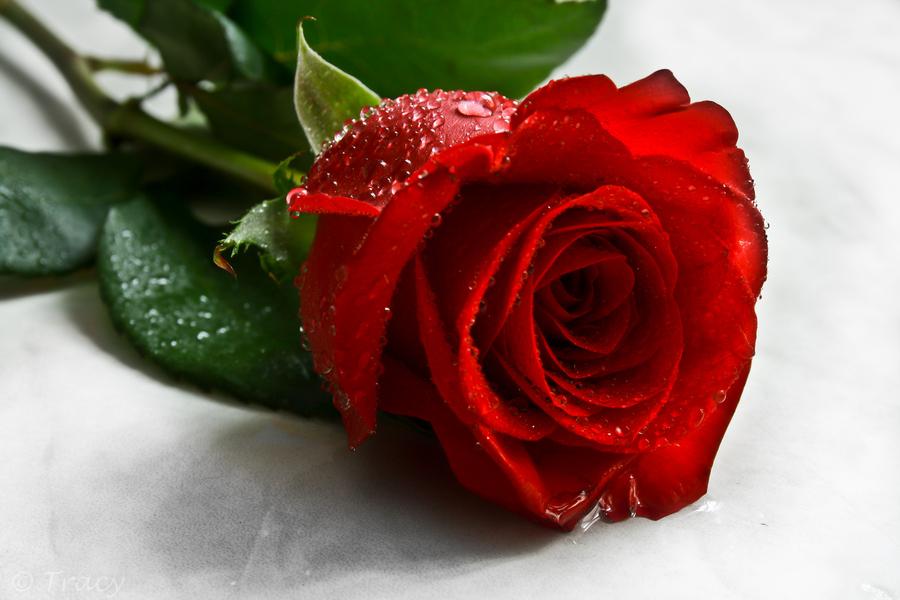 بالصور صور عن الورد , اجمل صورة لاروع زهرة 1806 6