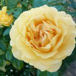 صور عن الورد , اجمل صورة لاروع زهرة