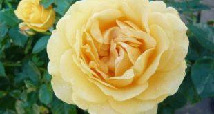 صوره صور عن الورد , اجمل صورة لاروع زهرة