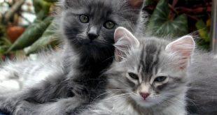صور اجمل قطط , شكل جميل للقطط