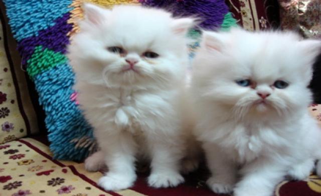 بالصور صور اجمل قطط , شكل جميل للقطط 2016 2