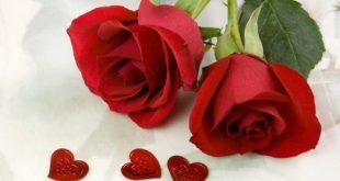 صور ورود حمراء جديدة رومانسية طبيعية لعشاق صور الورود اجمل خلفيات ورود , عبر عن حبك بوردة