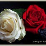 صور ورود حمراء جديدة , صور باقات ورود زهور حمراء و بيضاء جديدة و رائعة
